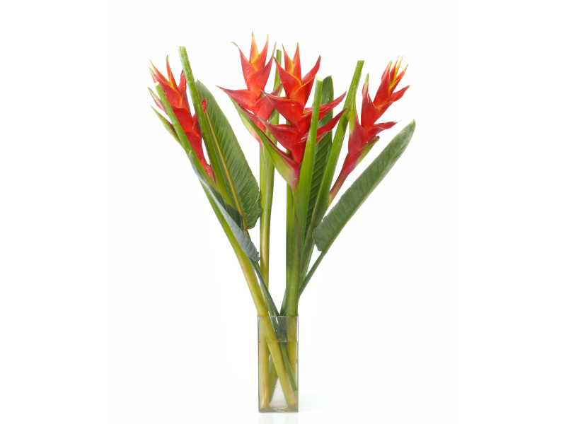 Fiery Heliconia